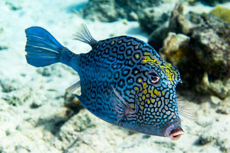 cloesup: A cloesup of a Honeycomb Cowfish in the tropical waters of Bonaire in the caribbean