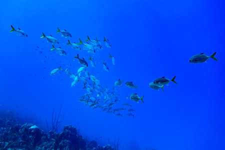 jacks: a school of Horse-eyed Jacks swimming in the blue waters of Bonaire in the Caribbean