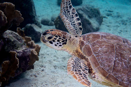 bonaire: A green sea turtle swimming of the Caribbean island of Bonaire