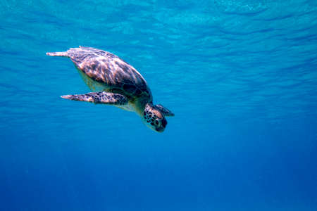 A Green sea turtle swimming in the blue waters of Bonaire in the Caribbean Stock Photo