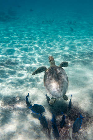 A green sea turtle in the tropical waters of Bonaire in the Caribbean Stock Photo