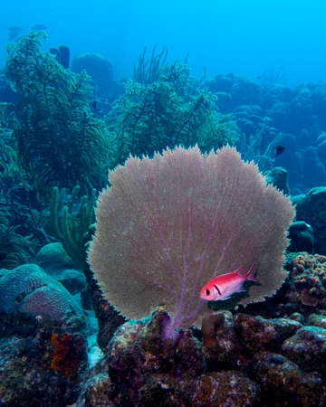 A Blackbar Soldierfish hiding under a fan coral in the tropical waters of Bonaire in the Caribbean Stock Photo
