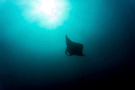 A manta ray gliding through the waters of Komodo National Park
