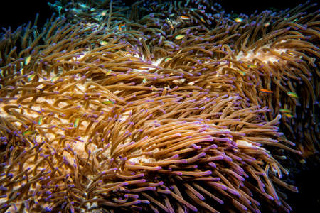 A colorful soft coral in the tropical waters of Indonesia