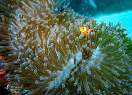 A colorfull clown fish in a soft coral Stock Photo