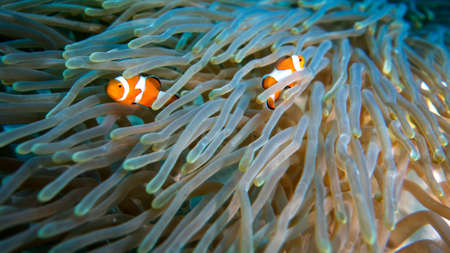 Two Clown fish in a soft coral
