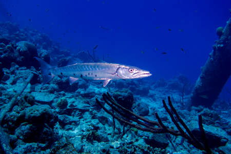 A barracuda swimming on a coral reef Stock Photo