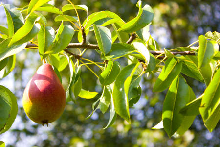 pear grows on a tree