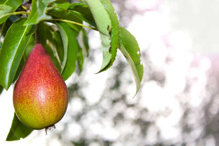 pear grow on a tree