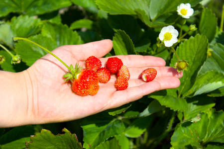 fresh strawberries on a hand Stock Photo