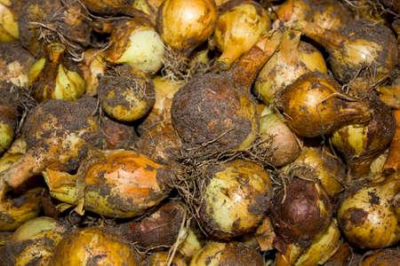 bulbar: fresh onions are dried