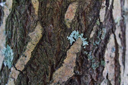 coniferous: The trunk of a coniferous tree bark.