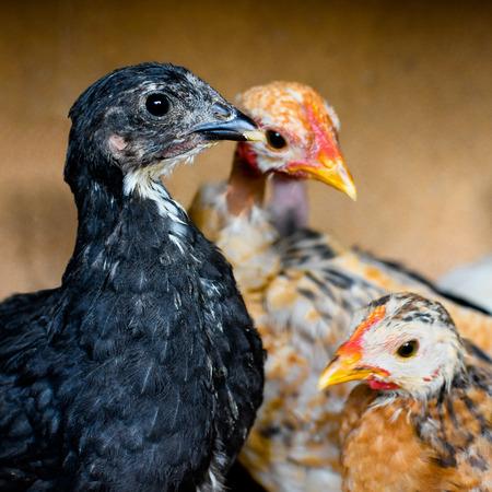 fondo cafe: Los tres pollos est�n en el fondo de color marr�n. Foto de archivo