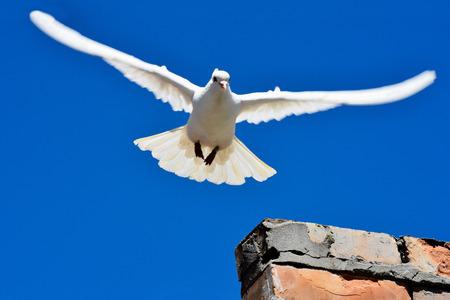 비행 흰색 비둘기는 평화의 상징입니다.