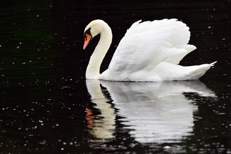 Beautiful white swan is on the river. Stock Photo