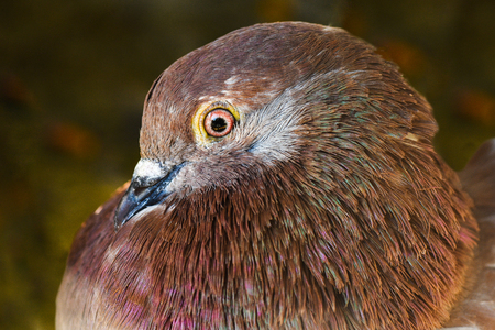 ojos verdes: Retrato de una paloma dom�stica marr�n sobre fondo verde. Foto de archivo
