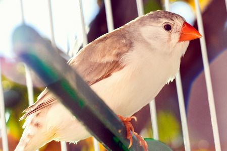 finch: Little bird, finch is sitting in the cage.