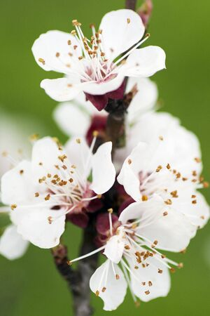 apricot tree: Macro photo about the flower on blooming apricot tree at spring. Stock Photo
