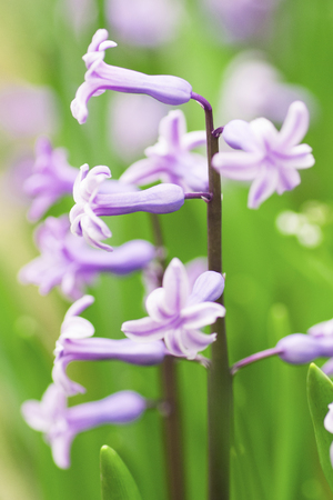 hyacinth: Hyacinth flowers in the grass at spring. Stock Photo