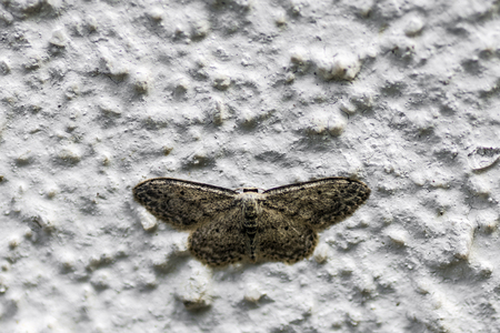 nightly: Brown nightly butterfly is on the white old wall.