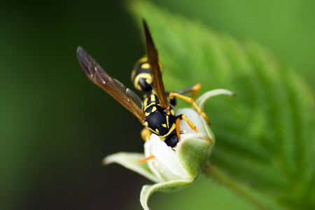 The wasp is pollinate the raspberry flower.