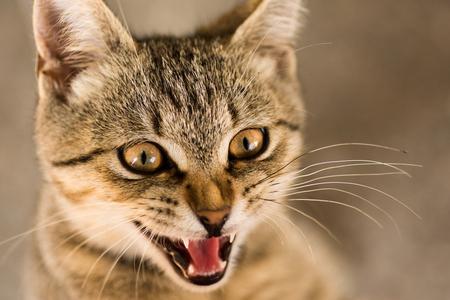 Animal portrait of tabby cat with opened mouth.