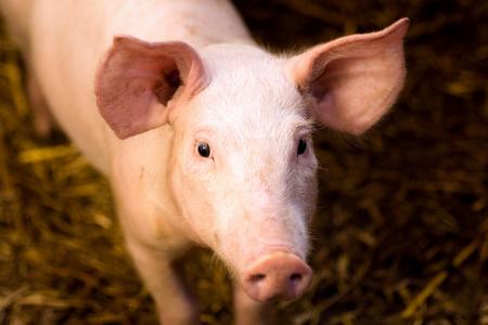 Animal portrait of young pig farm animal. Stock Photo