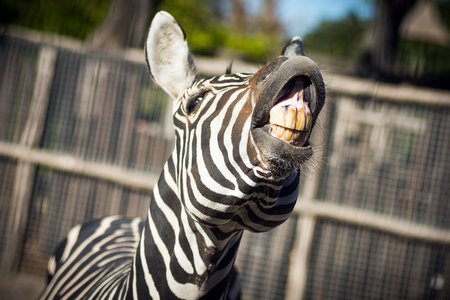 The zebra is showing his yellow teeth in camera, funny animal. Foto de archivo