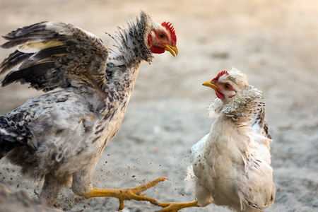 Two chickens are quarreling and fighting on the sand.