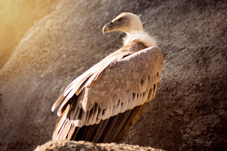 The big griffon vulture is standing on the rock. Stock Photo