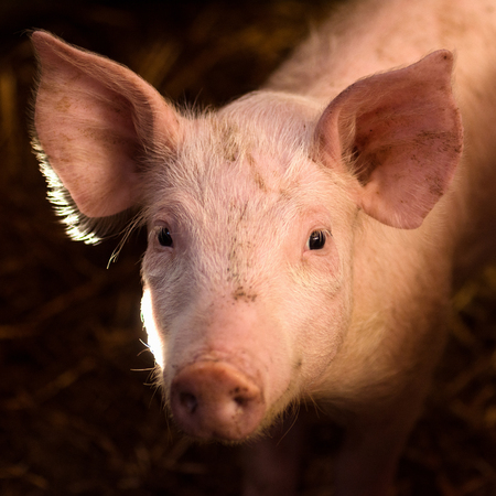 Animal portrait of cute young pig in sty. Stock Photo