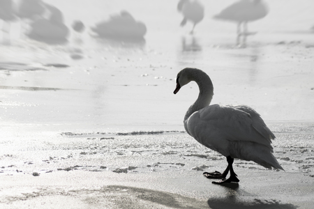 The lonely sad white swan is walking on the ice at winter.