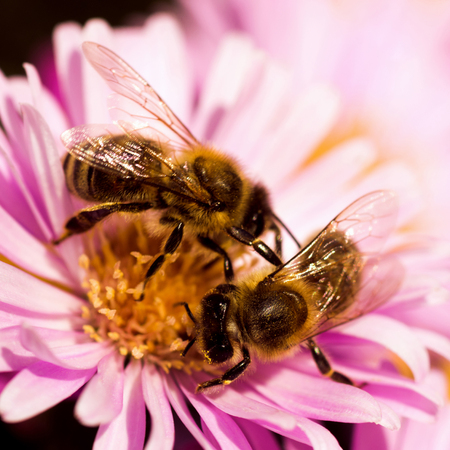 Two bees are on one bright purple flower, springtime and pollination concept.