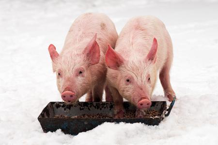 Deux jeunes cochons mangent en hiver sur la neige sur fond blanc. Banque d'images - 96995175