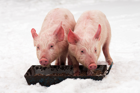 Two young pigs are eating at winter on the snow on white background.