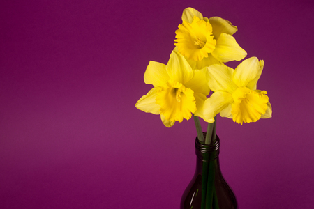 Three yellow daffodils as spring flower bouquet in bottle is on purple background. Stock Photo