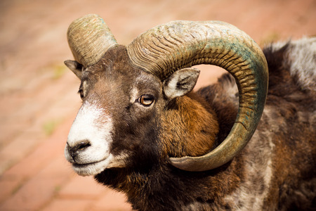 Animal portrait of mouflon or wild goat with curvy horns.