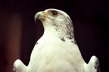 Animal portrait of white eagle on dark background. Standard-Bild