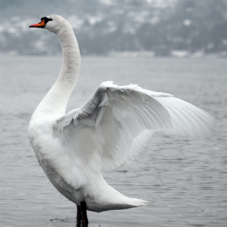 Beautiful white swan bird is opening wings in water in nature.