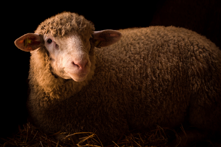 Sheep in hay in sty on dark background, livestock, domestic animal, farm animal, sheep breeding concept.