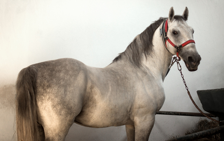 The white horse is standing in the sty indoors on white wall background.