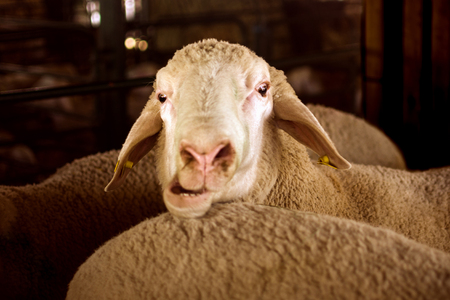 Funny animal portrait of sheep with opened mouth, funny face, funny animal. Stock Photo