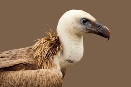 Animal portrait of brown griffon vulture bird on profile view or side view on brown background.