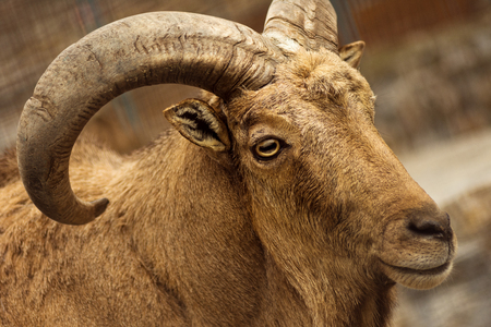 Animal portrait of brown mouflon with big curvy horns.