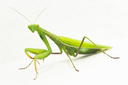 The big green mantis insect is on white background, studio shot.