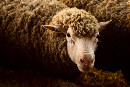 Animal portrait of sheep livestock farm animal, agricultural sheep breeding concept.