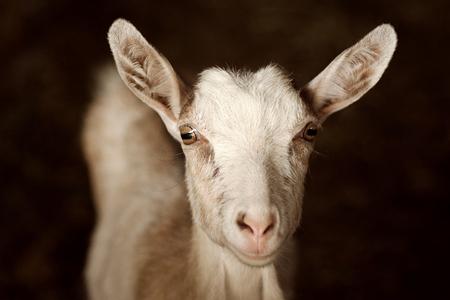 Animal portrait of white domestic goat on dark background. Stock Photo