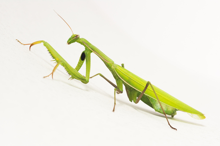 The green praying mantis insect is on white background, profile view.