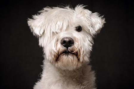 Vue de face animal portrait de chien schnauzer blanc sérieux sur fond sombre.