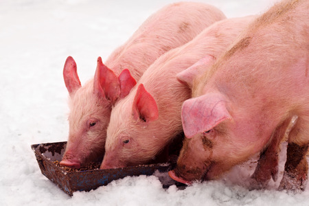Three young domestic pigs are eating on the snow at winter.